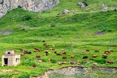 Kühe lassen in der idyllischen Landschaft der Alpenwiesen weiden Stockbild