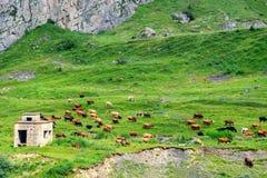 Kühe lassen in der idyllischen Landschaft der Alpenwiesen weiden Stockfoto