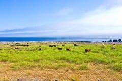 Kühe lassen frisches Gras auf einer Wiese in Andrew Molina State-Park weiden Stockbild