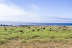 Kühe lassen frisches Gras auf einer Wiese in Andrew Molina State-Park weiden Stockfotografie