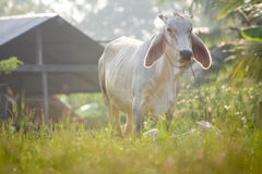 Kühe lassen weiden Stockfoto