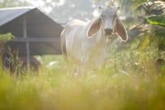 Kühe lassen weiden Stockbilder