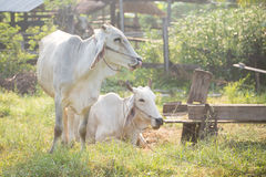 Kühe lassen weiden Lizenzfreies Stockbild
