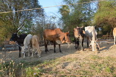 Kühe lassen weiden Stockfotografie