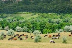 Kühe leben das Weiden lassen an der Wiese in Herden stockbilder