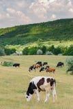 Kühe leben das Weiden lassen an der Wiese in Herden lizenzfreies stockbild