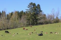Kühe mit Kälbern Lizenzfreie Stockfotografie