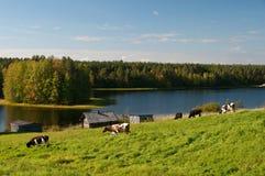 Kühe nähern sich dem See Stockbilder