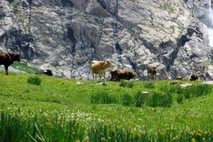 Kühe nähern sich Wasserfall Stockfotografie
