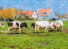 Kühe nahe einem Dorf Stockfotografie