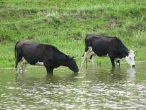 Kühe nahe einer Bank lizenzfreies stockfoto