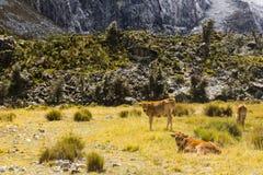 Kühe in Nationalpark Huascaran Lizenzfreies Stockbild