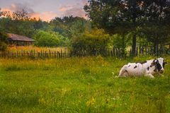 Kühe in Ruhestellung auf der grünen Wiese bei Sonnenuntergang Angeredetes Foto auf Lager mit ländlicher Landschaft in Rumänien lizenzfreie stockfotografie