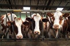 Kühe sind Rudeltiere Stockfotografie