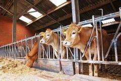 Kühe speisen innen einen Stall lizenzfreie stockfotos
