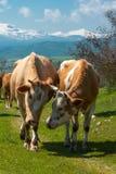 Kühe sprechen miteinander lizenzfreies stockbild