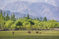 Kühe stauen vor Shey-Palast in Leh Ladakh Lizenzfreie Stockfotos