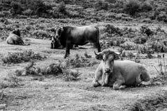 Kühe stehen auch still Stockbild