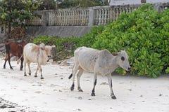 Kühe am Strand Stockbild