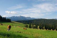 Kühe in Tatras Stockfoto