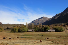 Kühe und Bauernhof auf einem Feld in Argentinien Stockfotografie