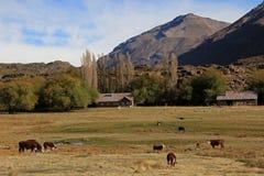 Kühe und Bauernhof auf einem Feld in Argentinien Stockfoto