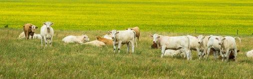 Kühe und Canolafeld Stockbild