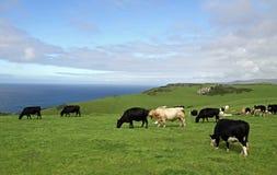 Kühe und der englische Kanal Stockfotografie