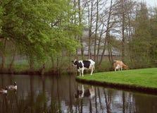 Kühe und Enten lizenzfreies stockbild