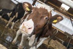 Kühe und Heu in der Scheune Stockfotografie