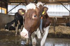 Kühe und Heu in der Scheune Lizenzfreie Stockbilder