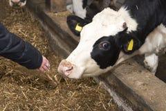 Kühe und Heu in der Scheune Stockfotos