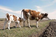 Kühe und ihre Kälber Stockbilder