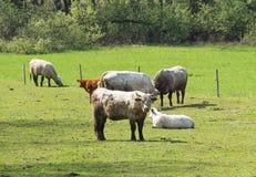 Kühe und Kälber Lizenzfreies Stockfoto