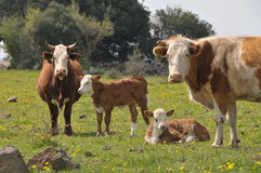 Kühe und Kälber Lizenzfreie Stockfotografie