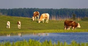 Kühe und Kälber auf Blumenwiese Stockfoto
