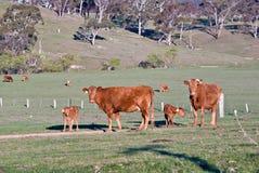 Kühe und Kälber auf dem Gebiet   Lizenzfreies Stockbild