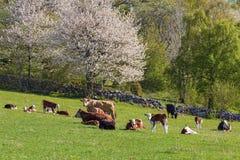 Kühe und Kälber auf einer Wiese am Frühling Stockfotos