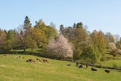 Kühe und Kälber in der Landschaft Lizenzfreies Stockfoto