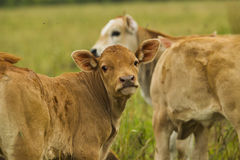 Kühe und Kälber in der Weide Lizenzfreie Stockfotos