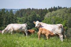 Kühe und Kälber, die auf einer Frühlingswiese weiden lassen Lizenzfreies Stockfoto