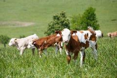 Kühe und Kälber, die auf einer Frühlingswiese weiden lassen Lizenzfreie Stockfotografie