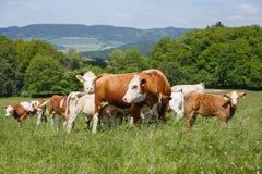 Kühe und Kälber, die auf einer Frühlingswiese weiden lassen Stockbilder