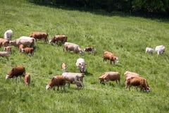 Kühe und Kälber, die auf einer Frühlingswiese weiden lassen Stockfoto