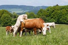 Kühe und Kälber, die auf einer Frühlingswiese weiden lassen Lizenzfreie Stockfotos