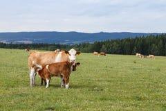Kühe und Kälber, die auf einer grünen Wiese weiden lassen Lizenzfreie Stockbilder