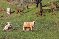 Kühe und Kälber in einer Wiese Stockfoto