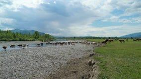 Kühe und Kalb gehen zum Fluss in den Bergen stock footage