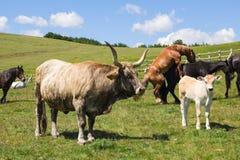 Kühe und Pferde Stockbild