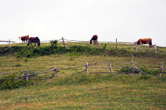 Kühe und Pferde auf Weide auf Rumänisch Banat Lizenzfreie Stockfotos